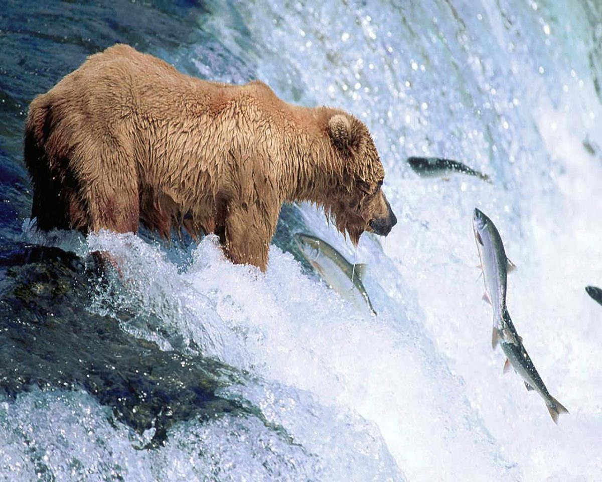 Grizzly Bear Animal Wallpaper