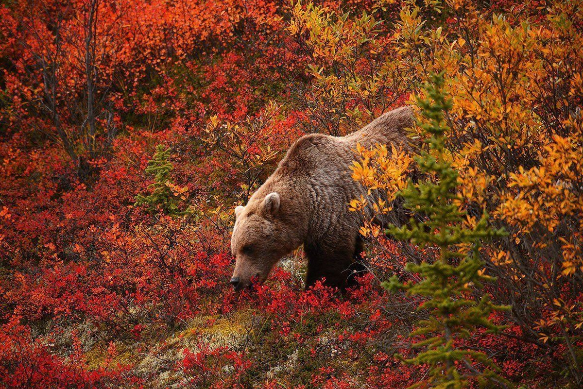 Grizzly Bear Wallpapers – 1200×801 – 707834