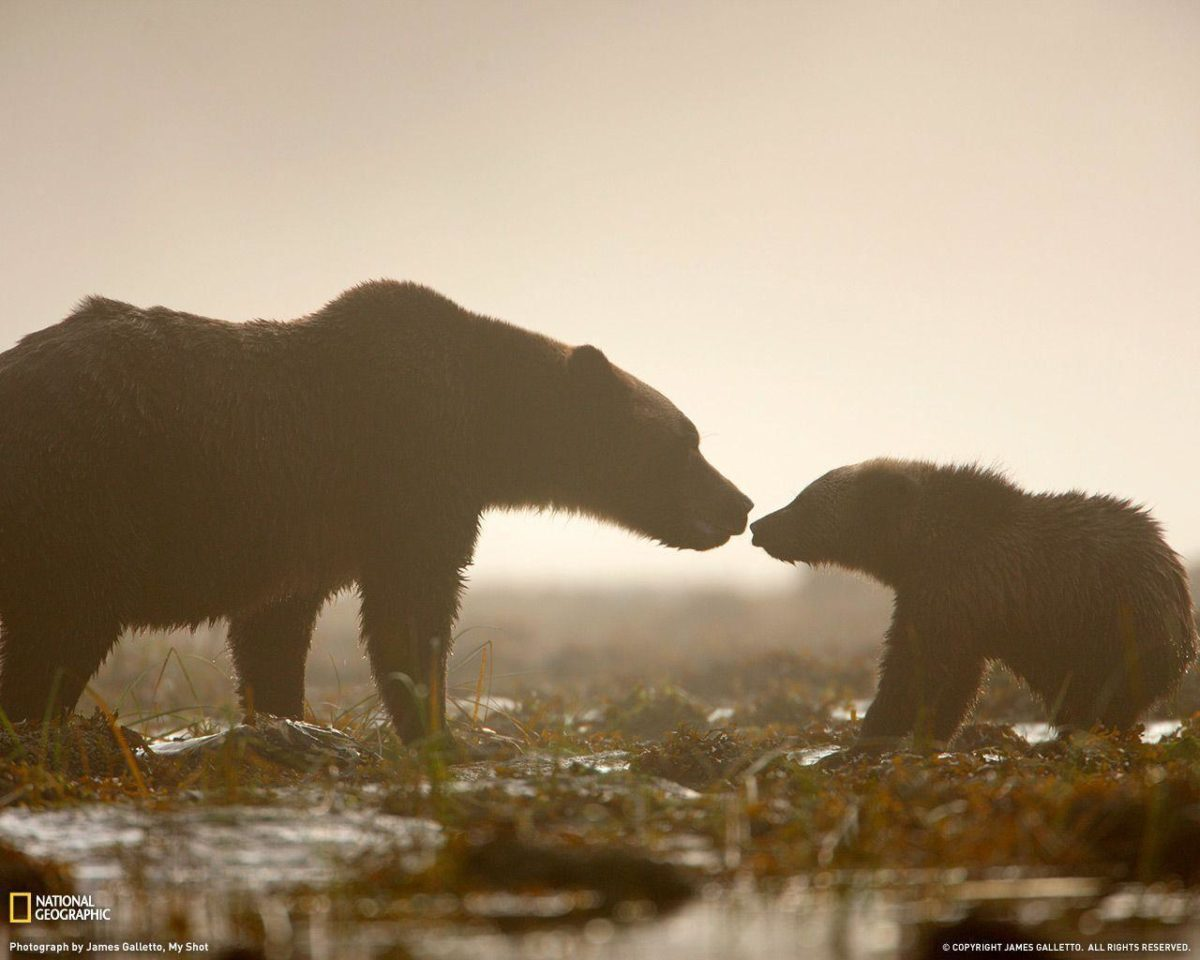 Wallpapers For > Hd Grizzly Bear Wallpaper