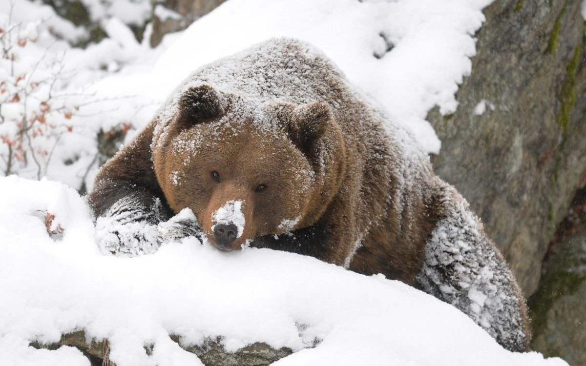 Download Grizzly Bear Pictures 5824 2560×1600 px High Resolution …