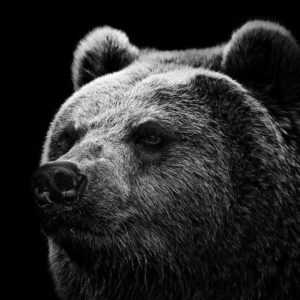 download Hd Wallpapers Grizzly Bear Wallpaper Wild Big Grizzly 1280 X 960 …