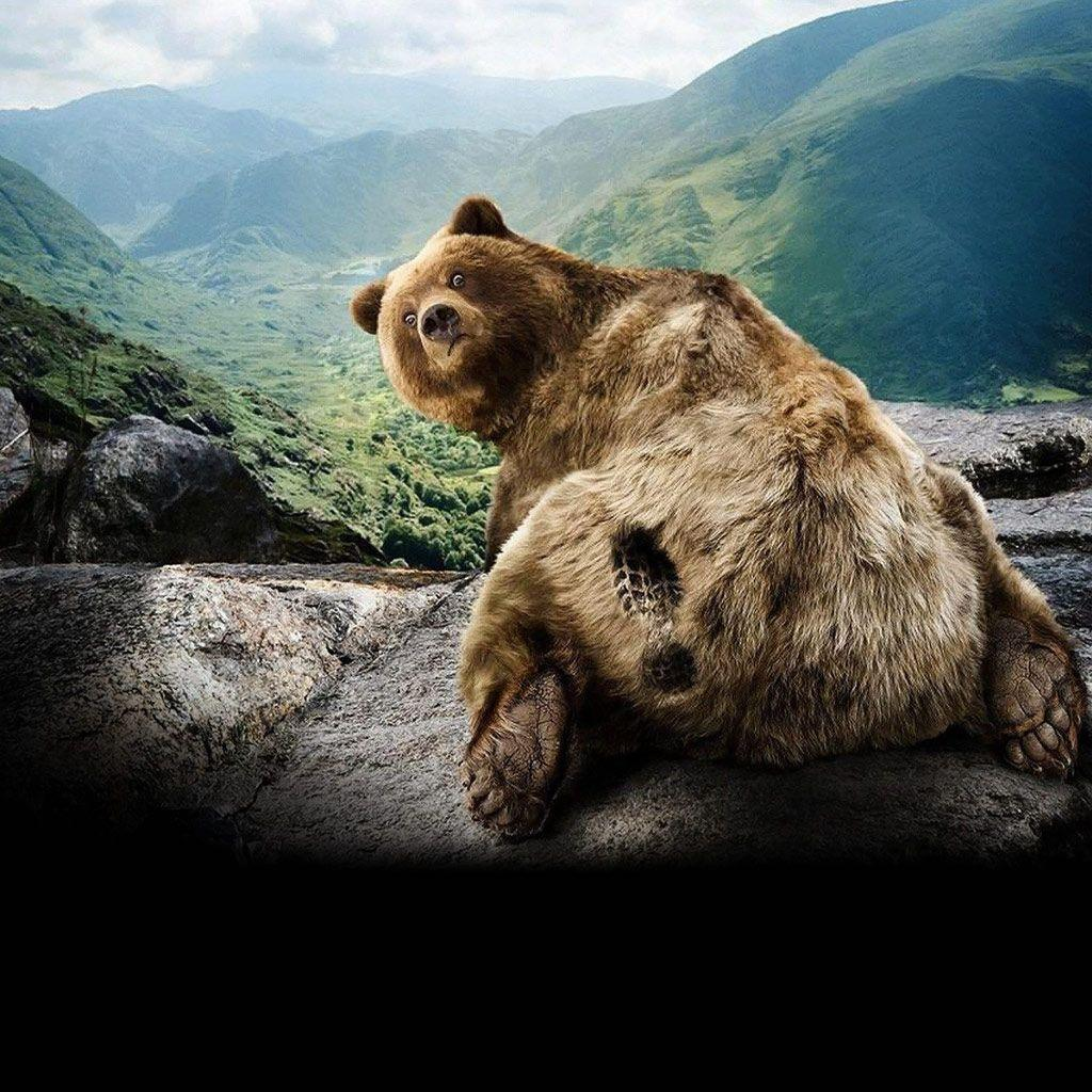 grizzly bear backgrounds – 1024×1024 High Definition Wallpaper …
