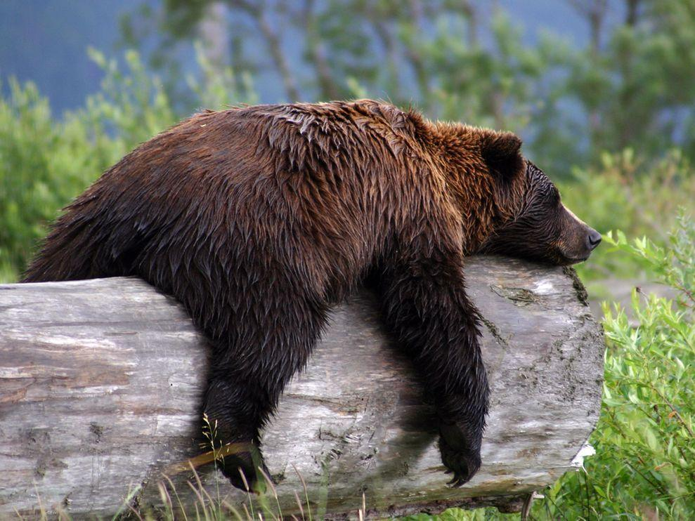 Grizzly Bear Photo, Animal Wallpaper – National Geographic Photo …