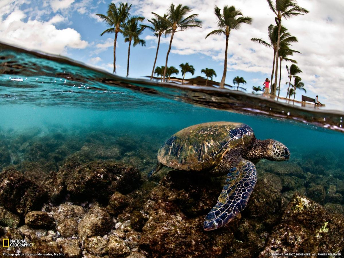 Green Sea Turtle Photo, Hawaii Wallpaper – National Geographic …