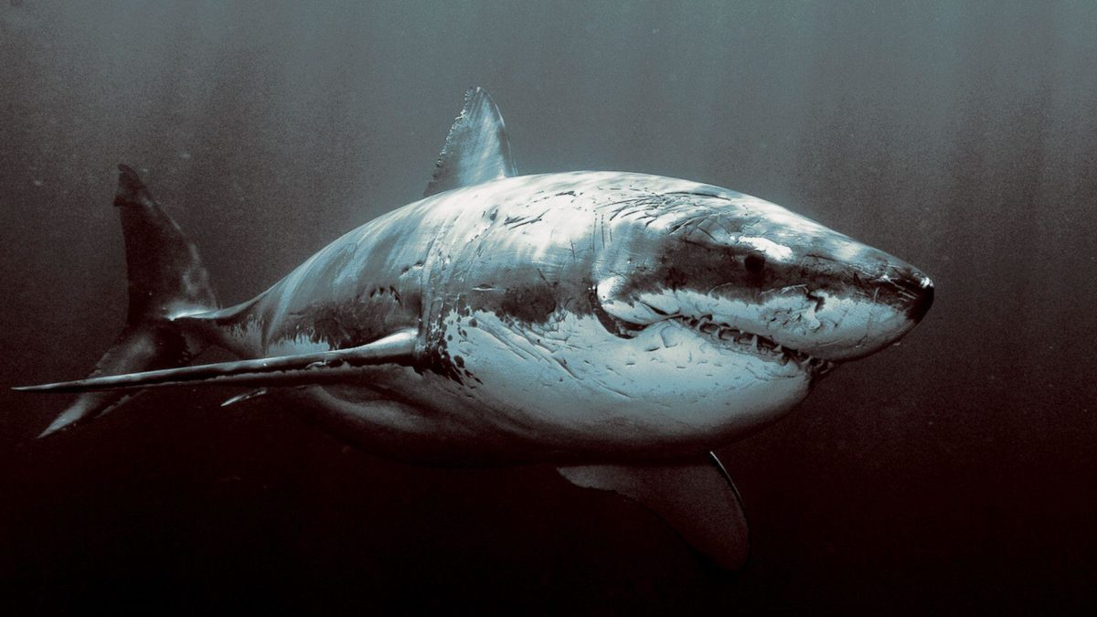 Wallpapers For > Shark Wallpaper Hd