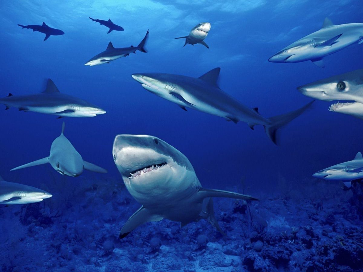 Blue Shark HD Wallpapers
