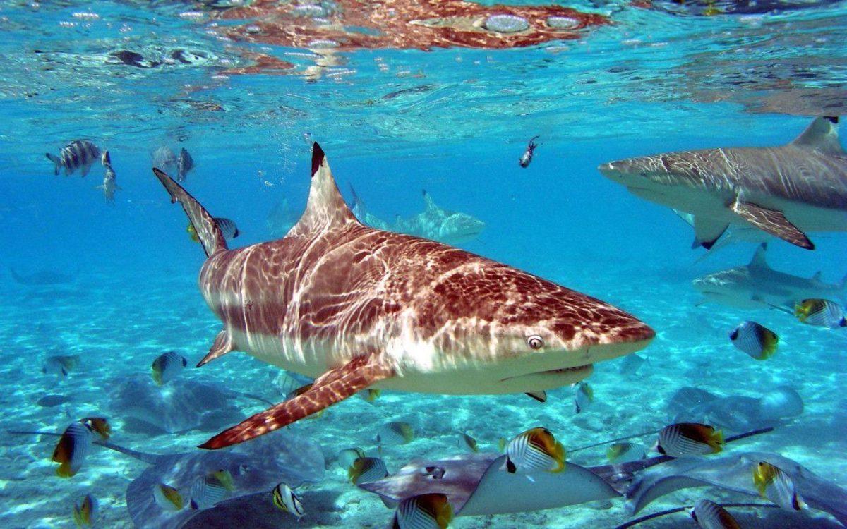 Shark Wallpaper HD Shark Pictures
