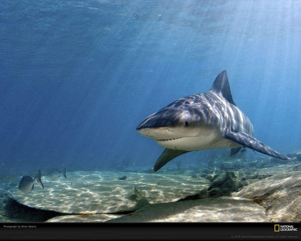 Bull Shark Picture, Bull Shark Desktop Wallpaper, Free Wallpapers …