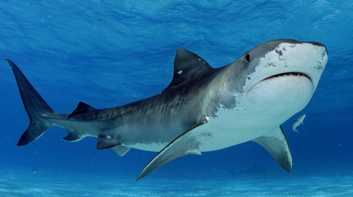 Shark HD Wallpapers | Hd Wallpapers