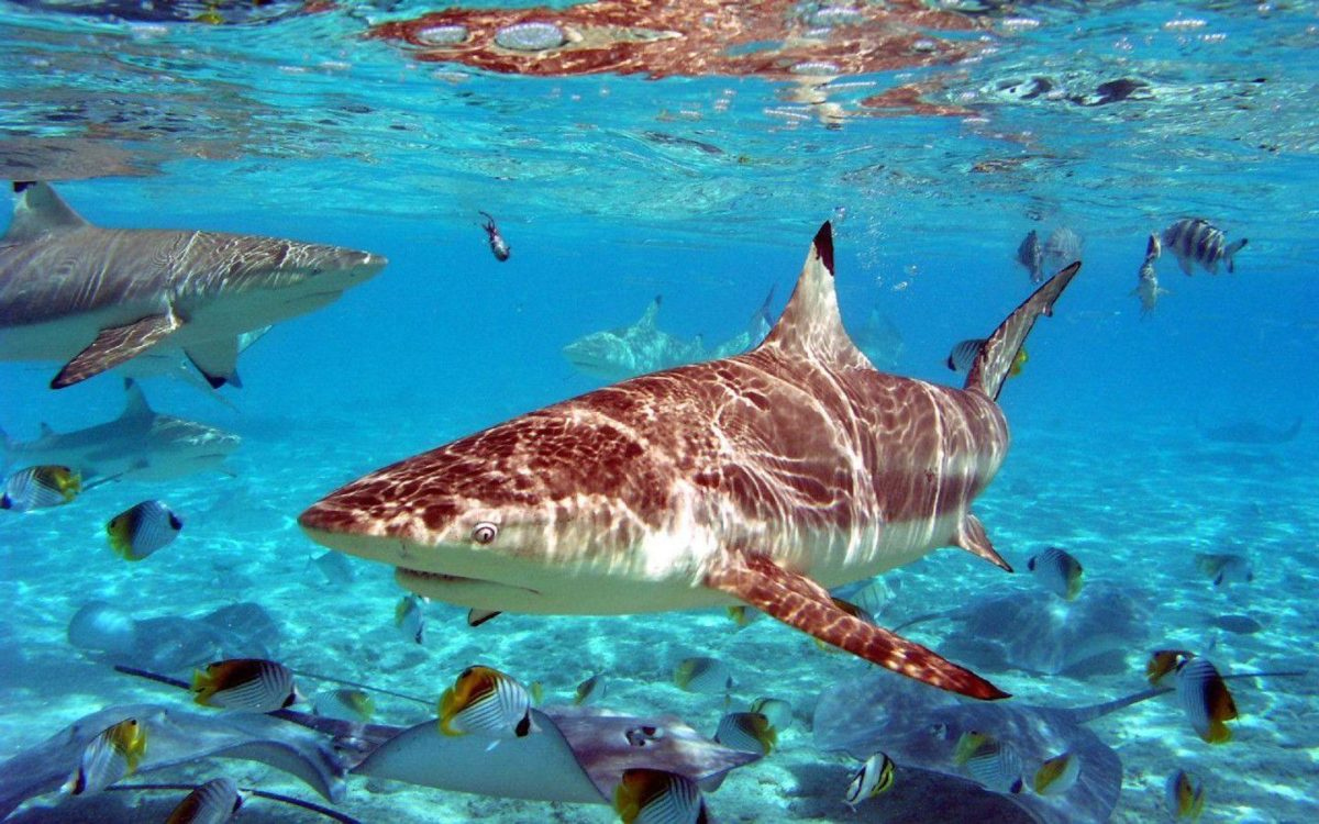 134 Shark Wallpapers   Shark Backgrounds