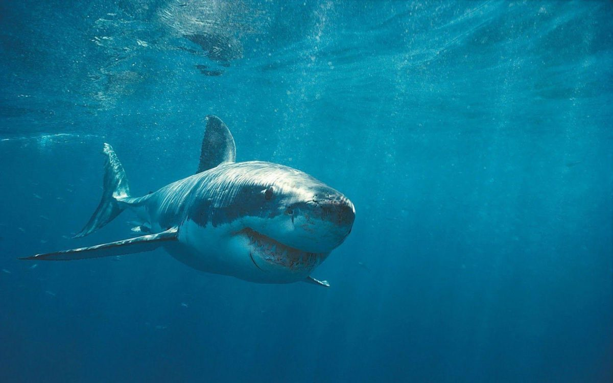 Sharks in the ocean – Barbaras HD Wallpapers