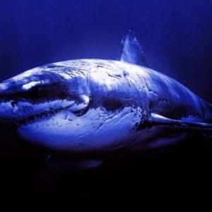 download Widescreen Shark Wallpaper 03   hdwallpapers-