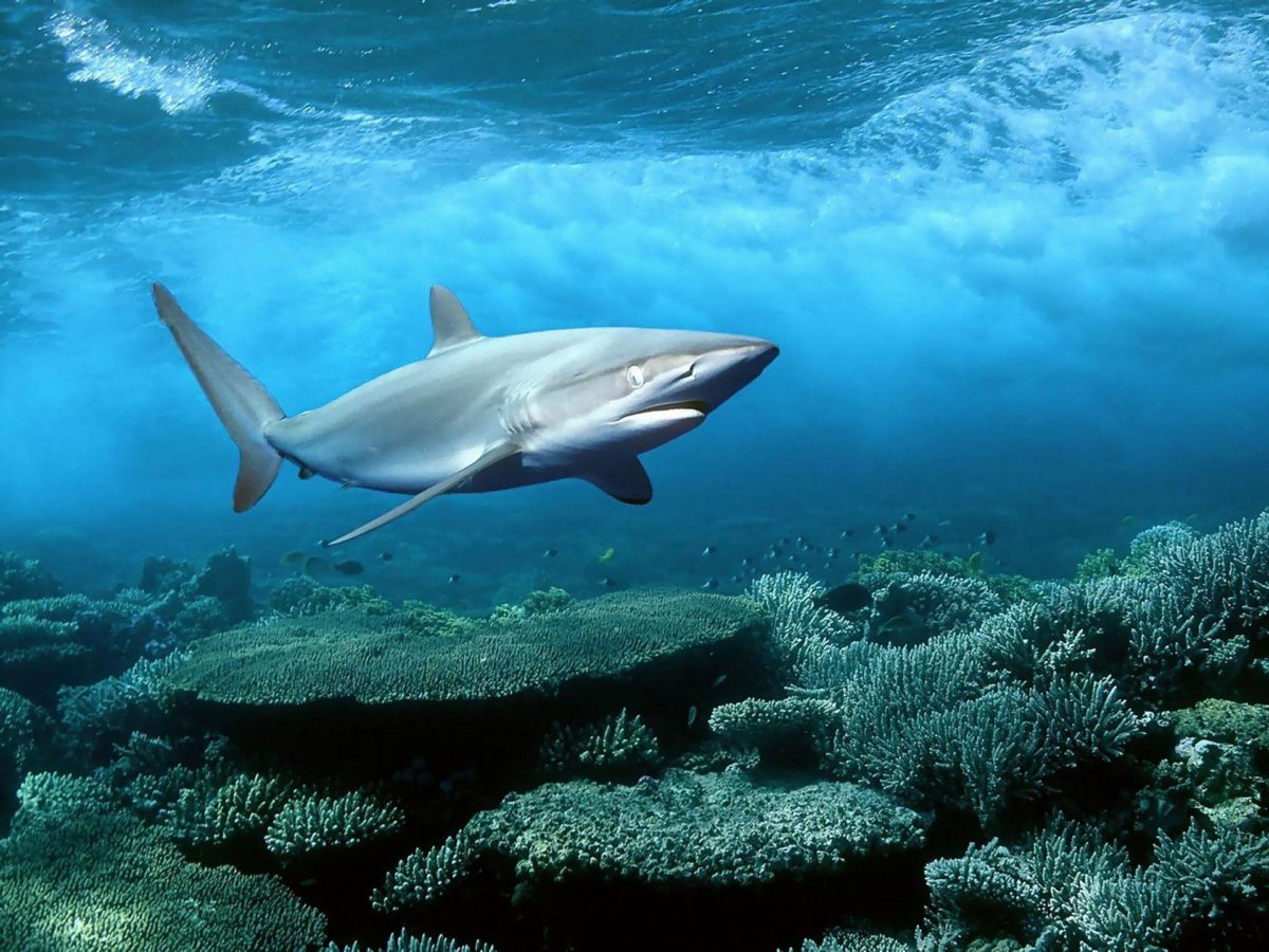 Shark HD Wallpapers