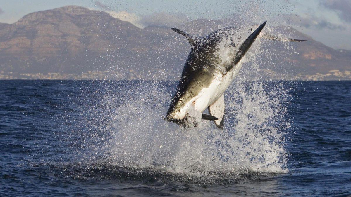 Shark Week HD Wallpapers