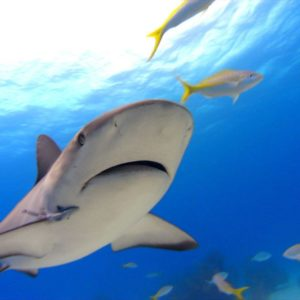 download 25 Beautiful Tiger Shark Pictures and Wallpapers