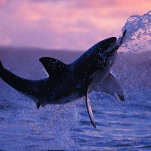 download Shark HD Wallpapers