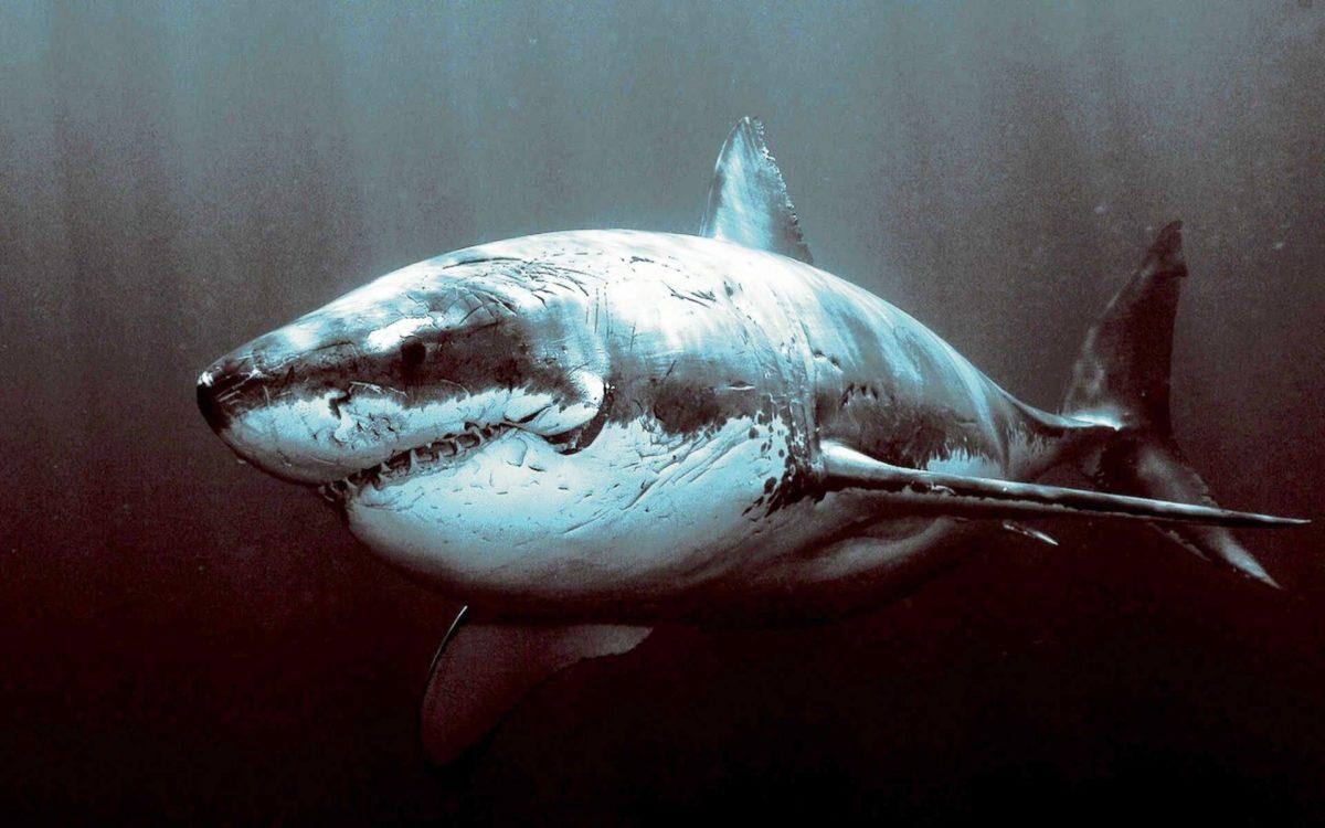 Shark and killer Wallpaper 01   hdwallpapers-