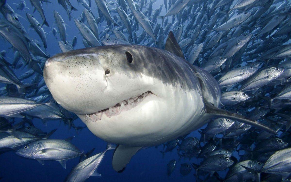 shark wallpapers   shark wallpapers – Part 5