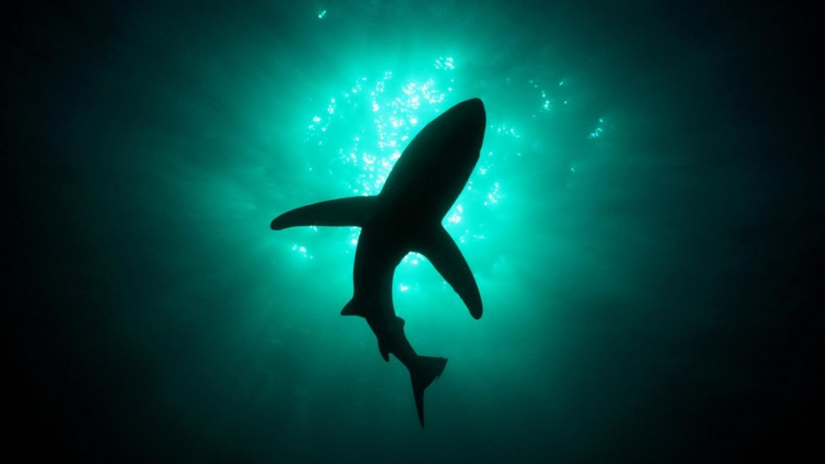 Shark Great White Wallpaper #5014 Wallpaper   walldesktophd.com