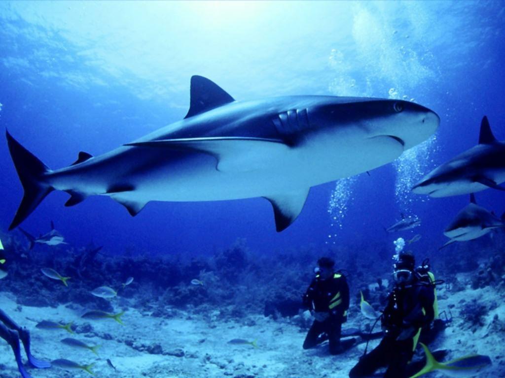 Wallpapers For > Shark Wallpaper Hd 3d