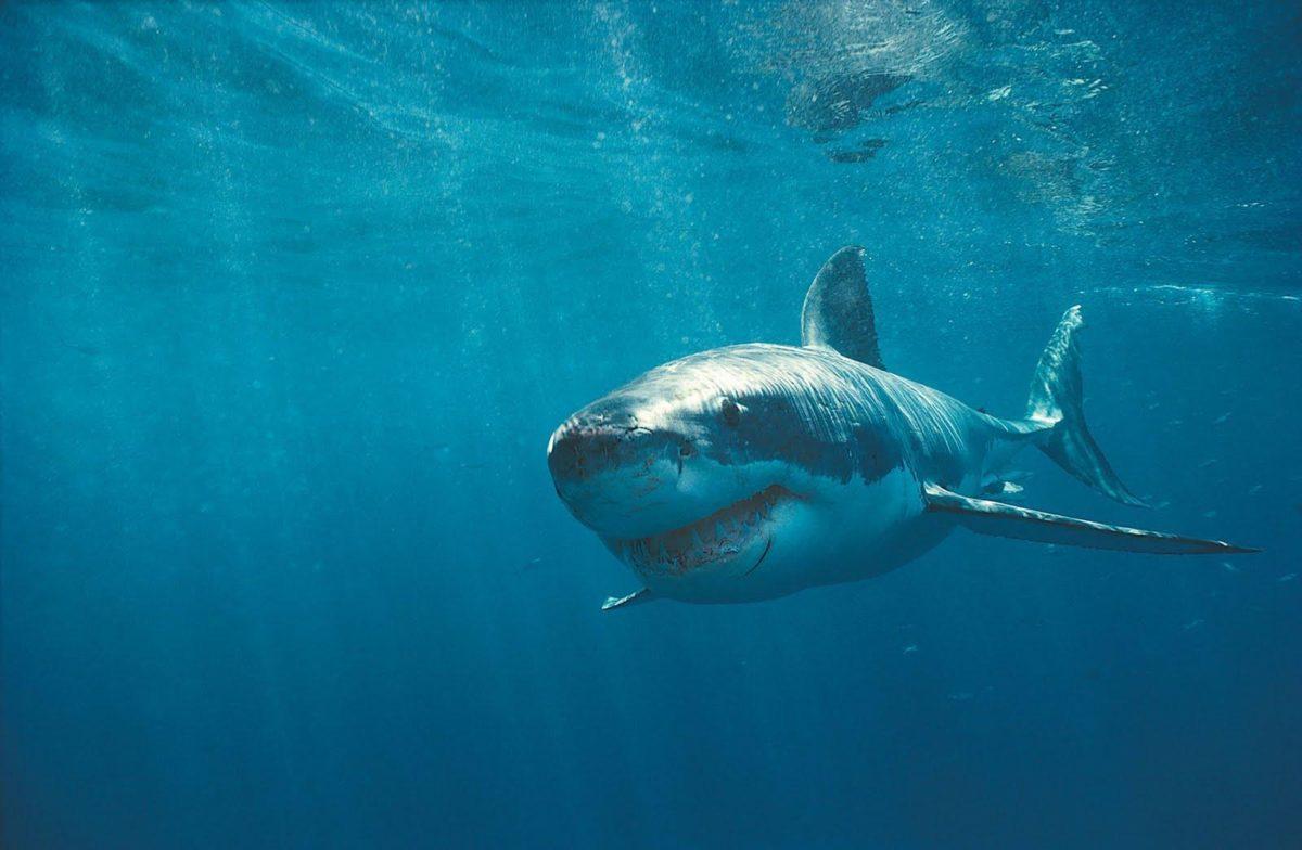 Animals For > Shark Wallpaper Hd