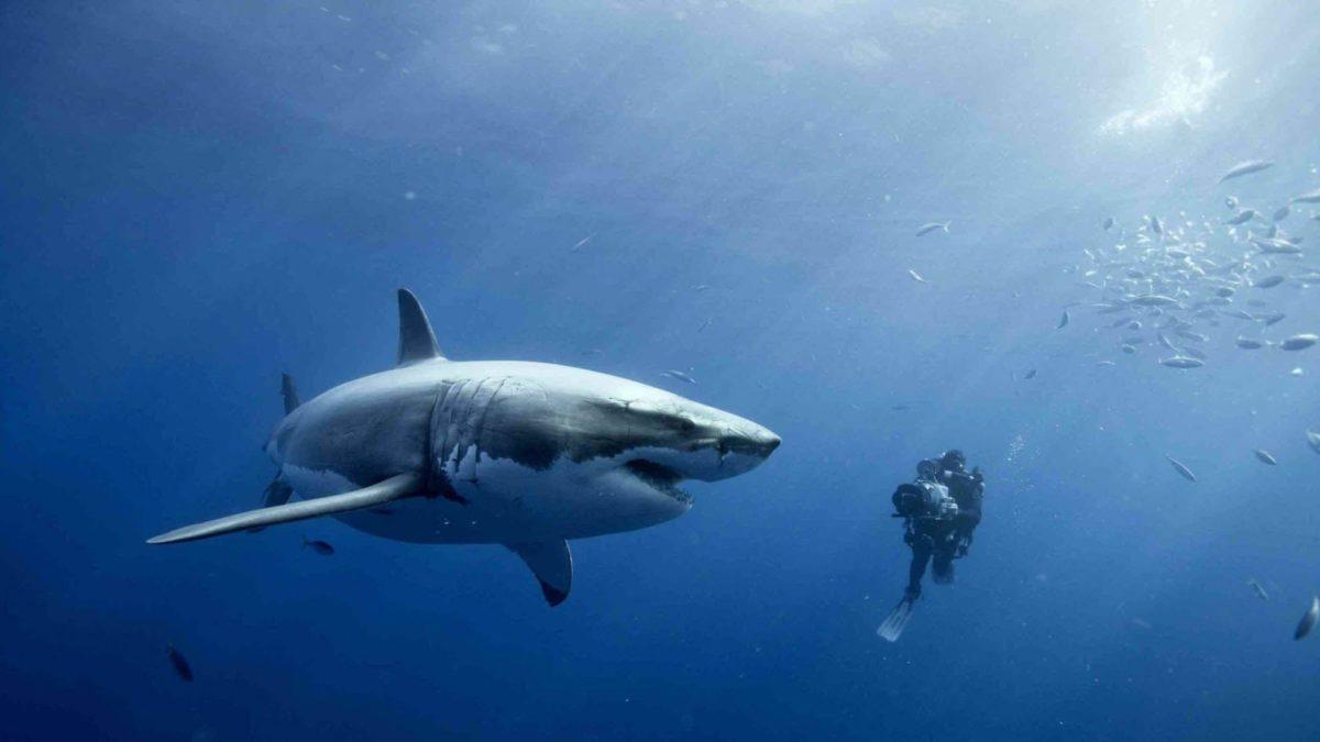 shark wallpapers   shark wallpapers – Part 11