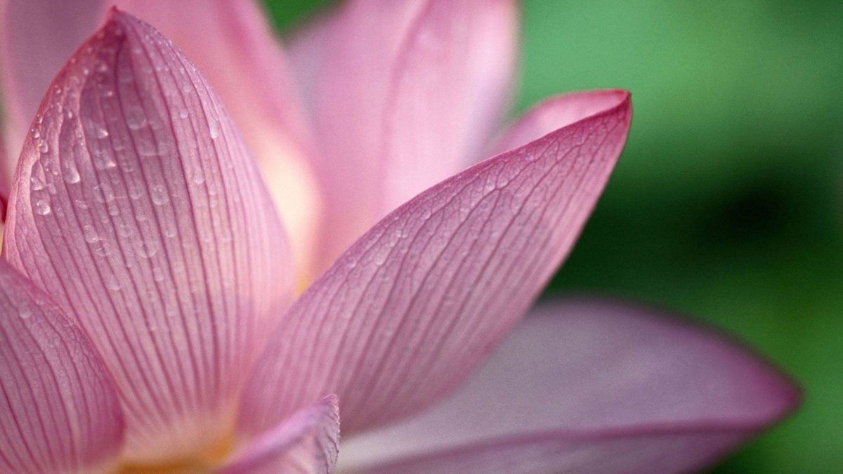 Flower Pink 1080p HD Wallpapers | HD Wallpapers