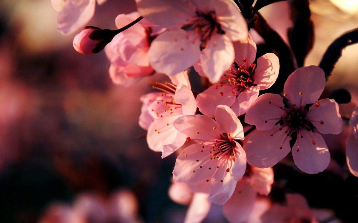 Pink Flower Widescreen HD Wallpapers – HD Wallpapers Inn
