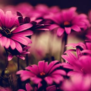download Pink Flower HD Wallpaper | Pink Flower Photos | Cool Wallpapers