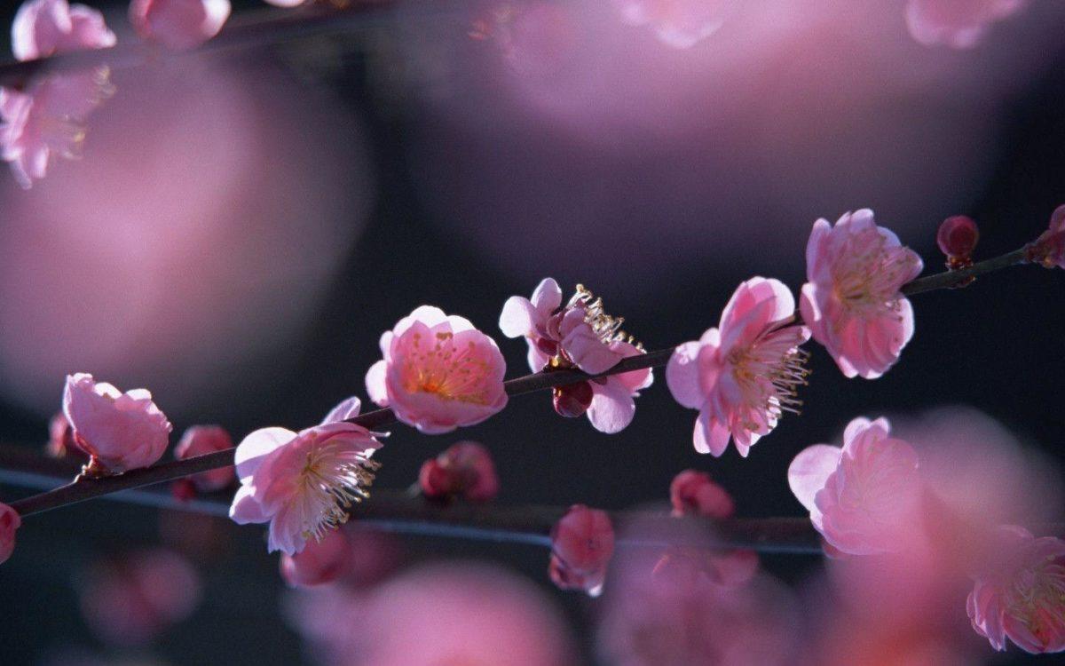 Pink Blossom Flowers HD wallpaper « Wallpapers HD