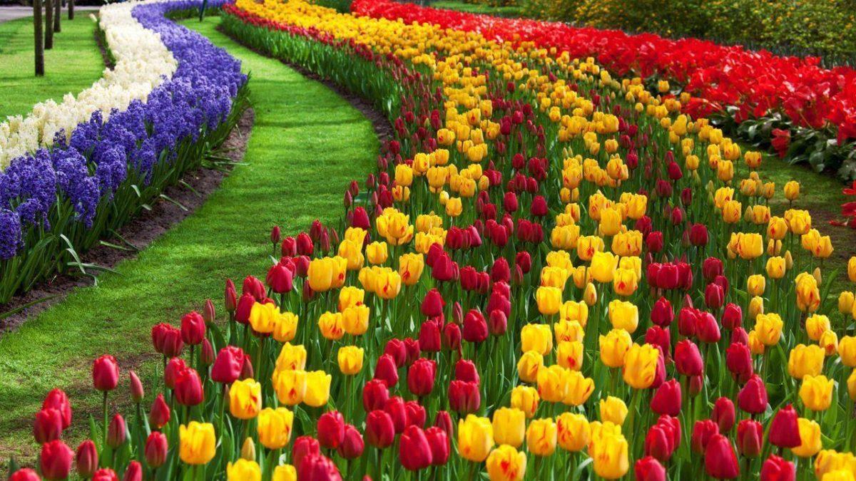 Tulip Flower Desktop Wallpapers | Free Download Tulip HD …