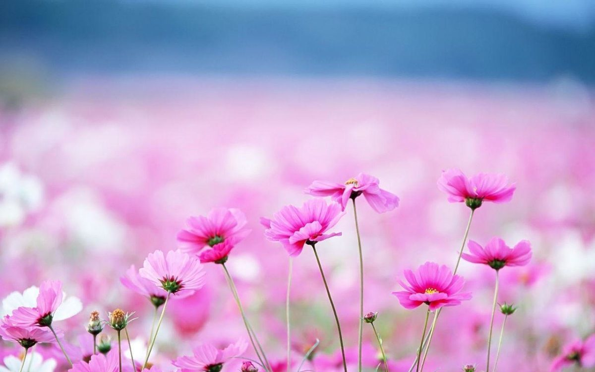 Flowers Wallpapers | Free Desk Wallpapers