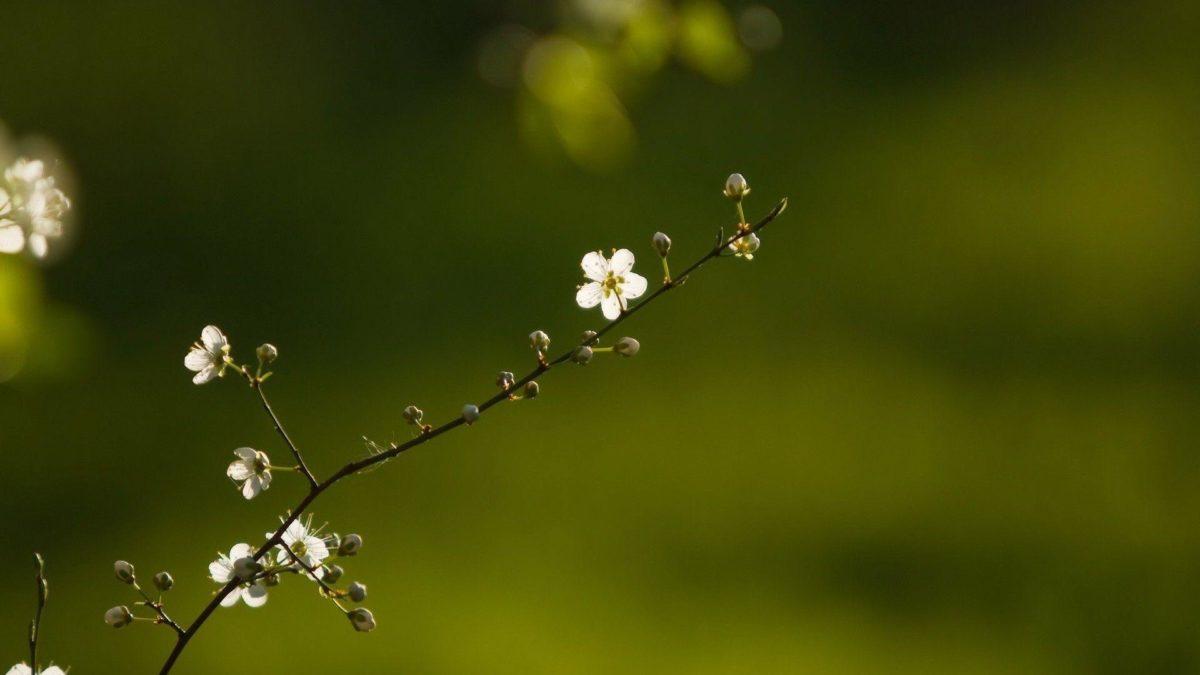 Beautiful Branch Of Flower tree hd wallpaper | HD Wallpapers …