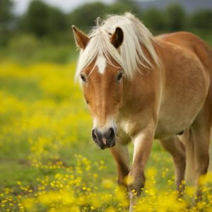 download Horse Wallpaper Hd Backgrounds 992 Full HD Wallpaper Desktop – Res …