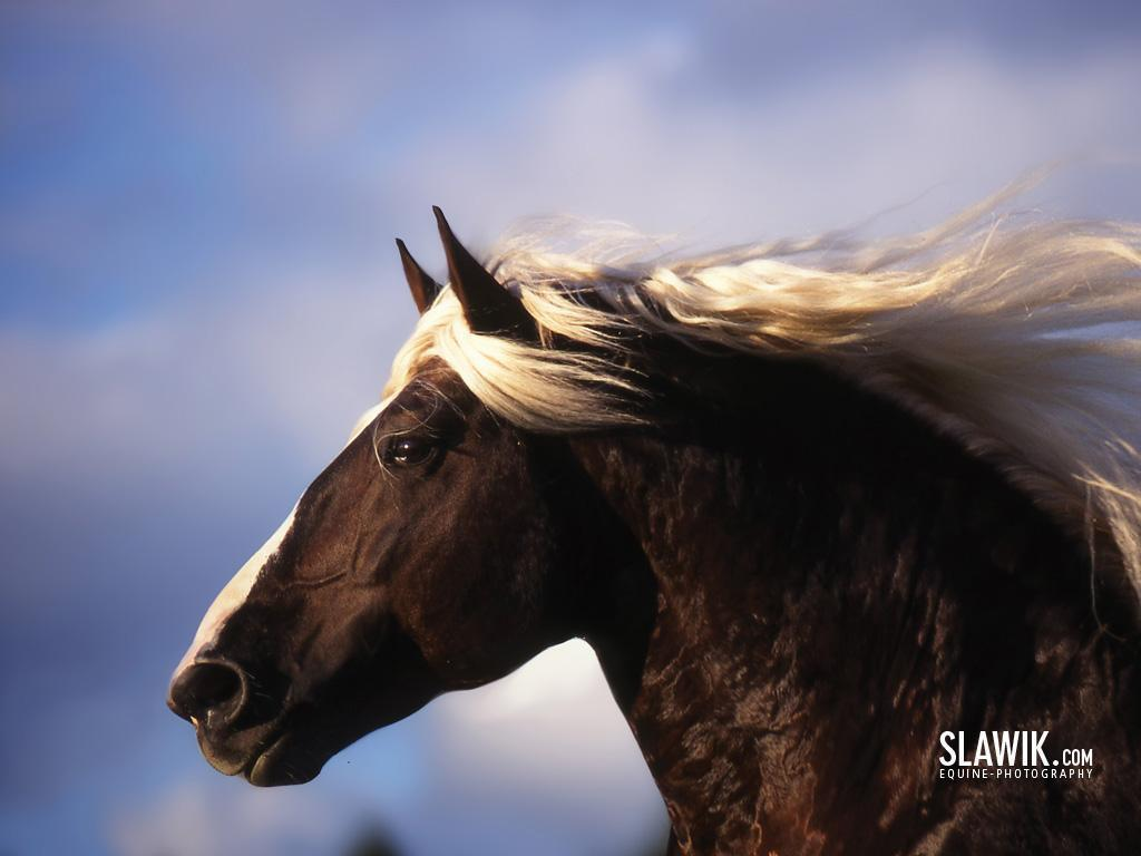 Slawik horse wallpapers – Horses Wallpaper (6070990) – Fanpop