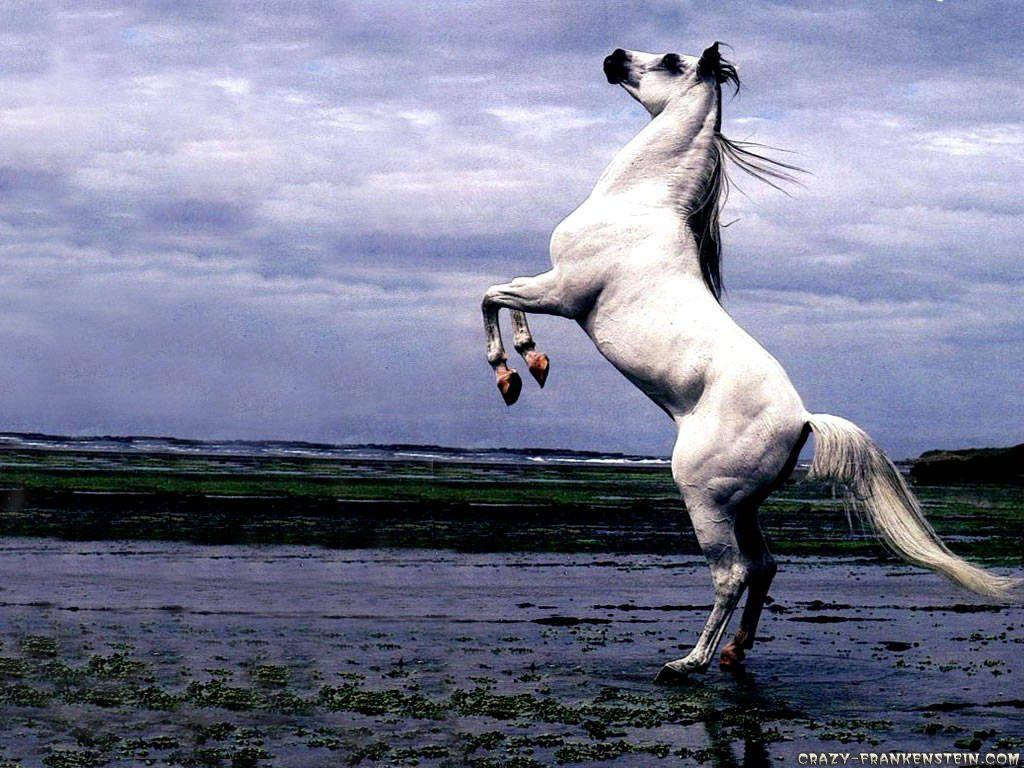 Arabian Horse Wallpaper Android #796 Wallpaper computer | best …