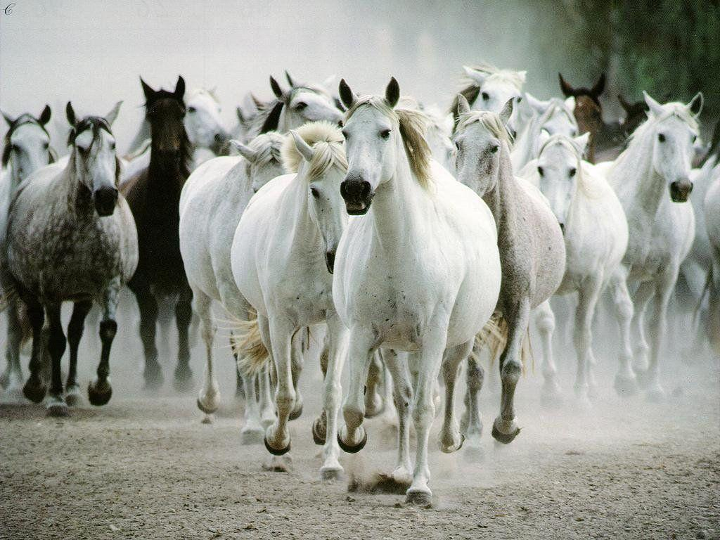 Horse White HD Wallpaper Android #844 Wallpaper computer | best …