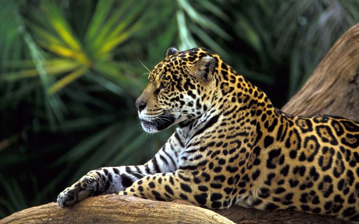 Jaguar wallpapers – Wallpapers