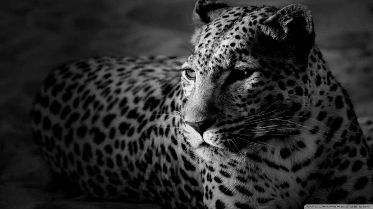 Black And White Jaguar HD desktop wallpaper : Widescreen : High …