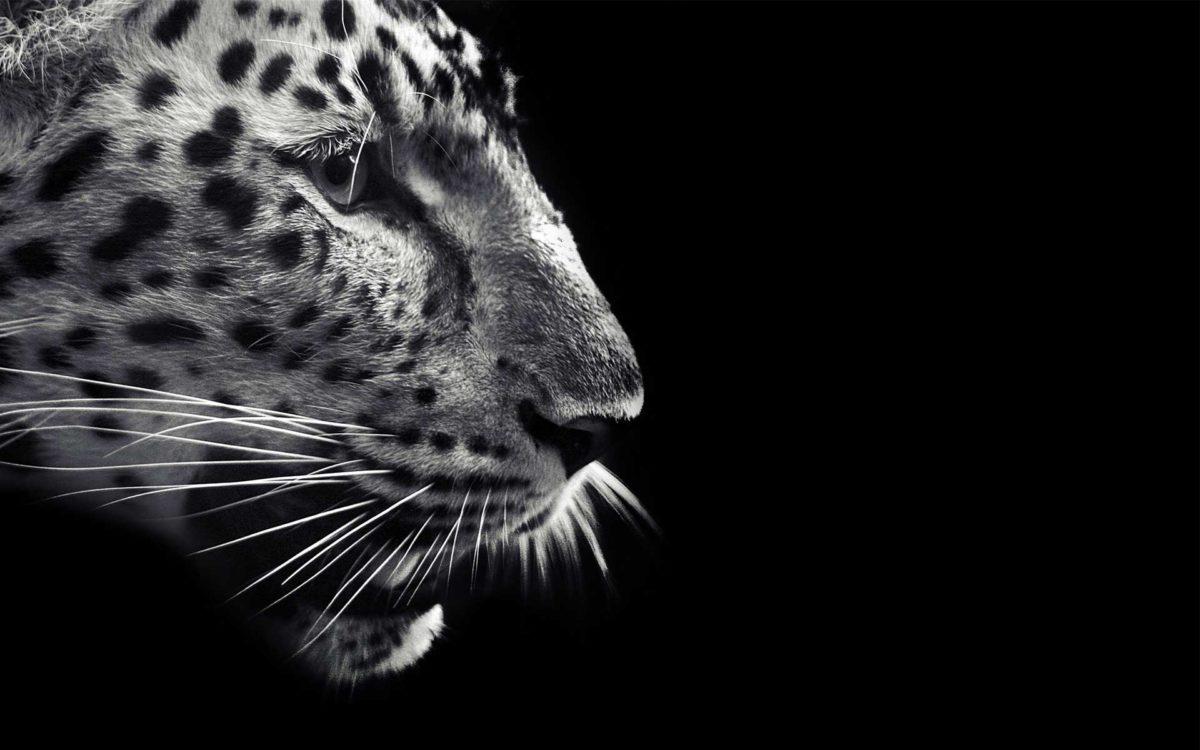 Black Jaguar Wallpapers Group (73+)