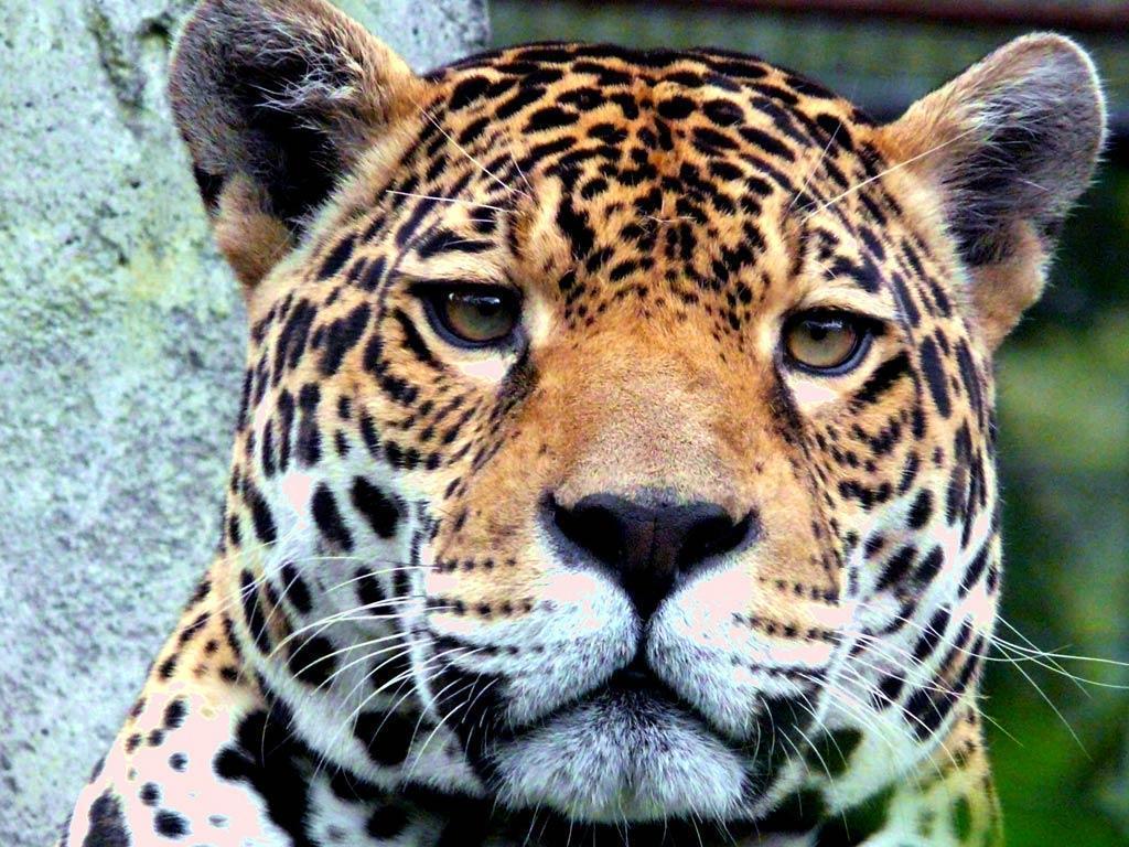 Jaguar Desktop and Mobile Wallpaper – Animals Town