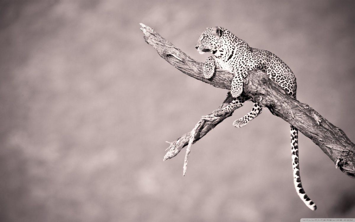 Jaguar HD desktop wallpaper : High Definition : Fullscreen : Mobile