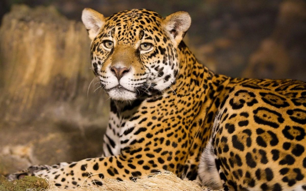 188 Jaguar HD Wallpapers | Backgrounds – Wallpaper Abyss