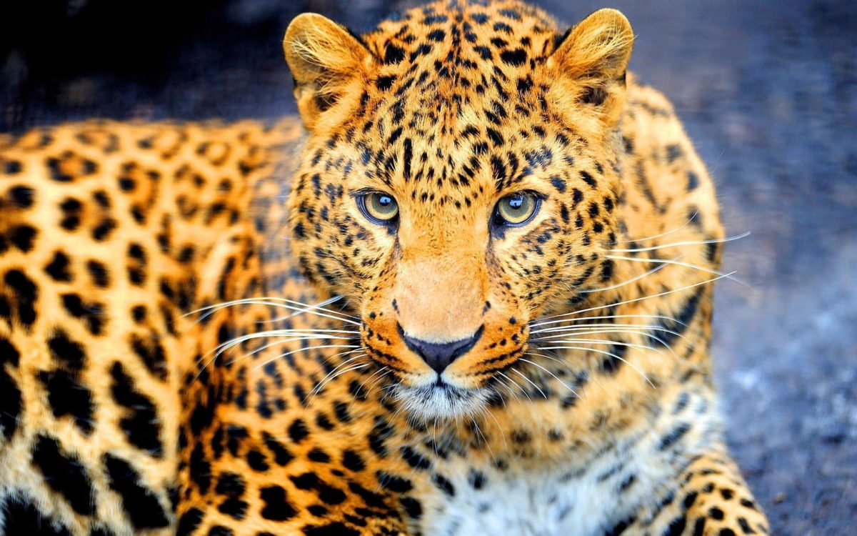 Dangerous jaguar Wallpapers | Pictures