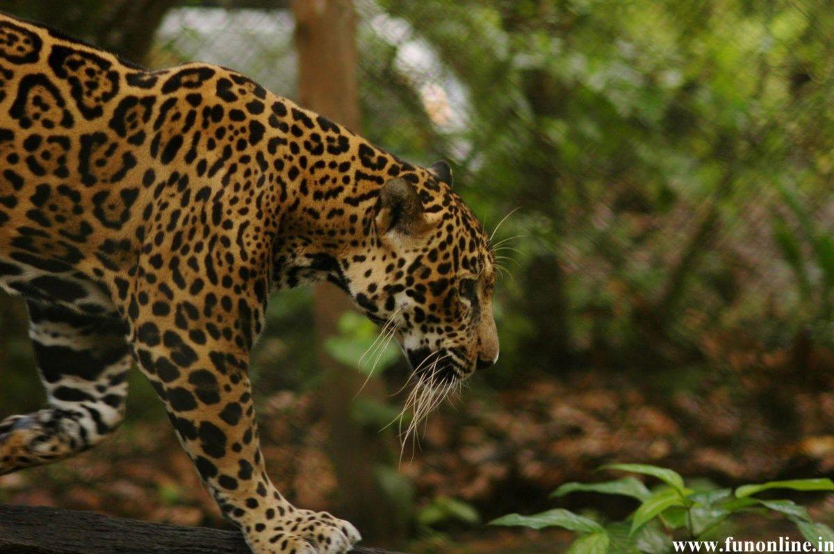 Jaguars Wallpaper – WallpaperSafari