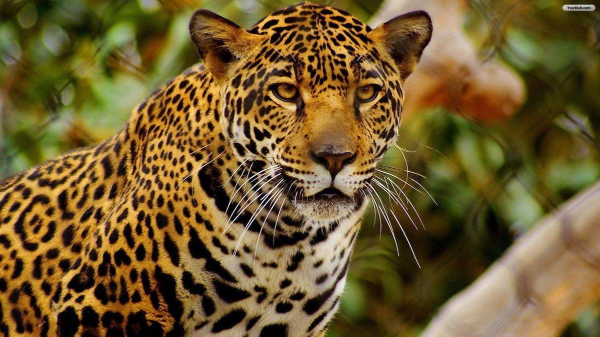 Jaguar Pictures HD Wallpapers | Live HD Wallpaper HQ Pictures …