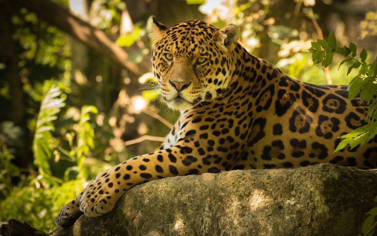 Chincha the Jaguar Wallpapers | HD Wallpapers