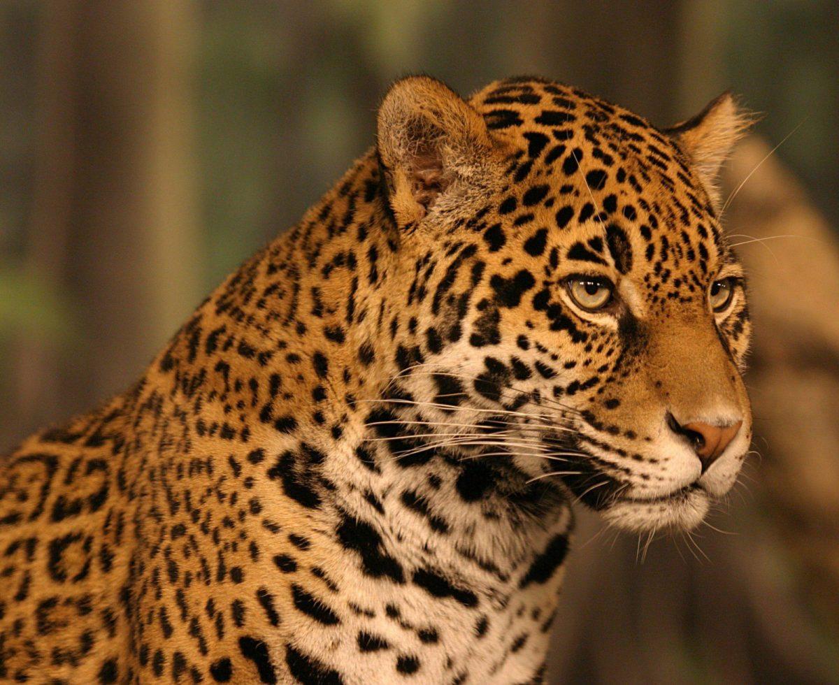 Jaguar Wallpapers HD – WallpaperSafari
