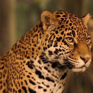 download Jaguar Wallpapers HD – WallpaperSafari