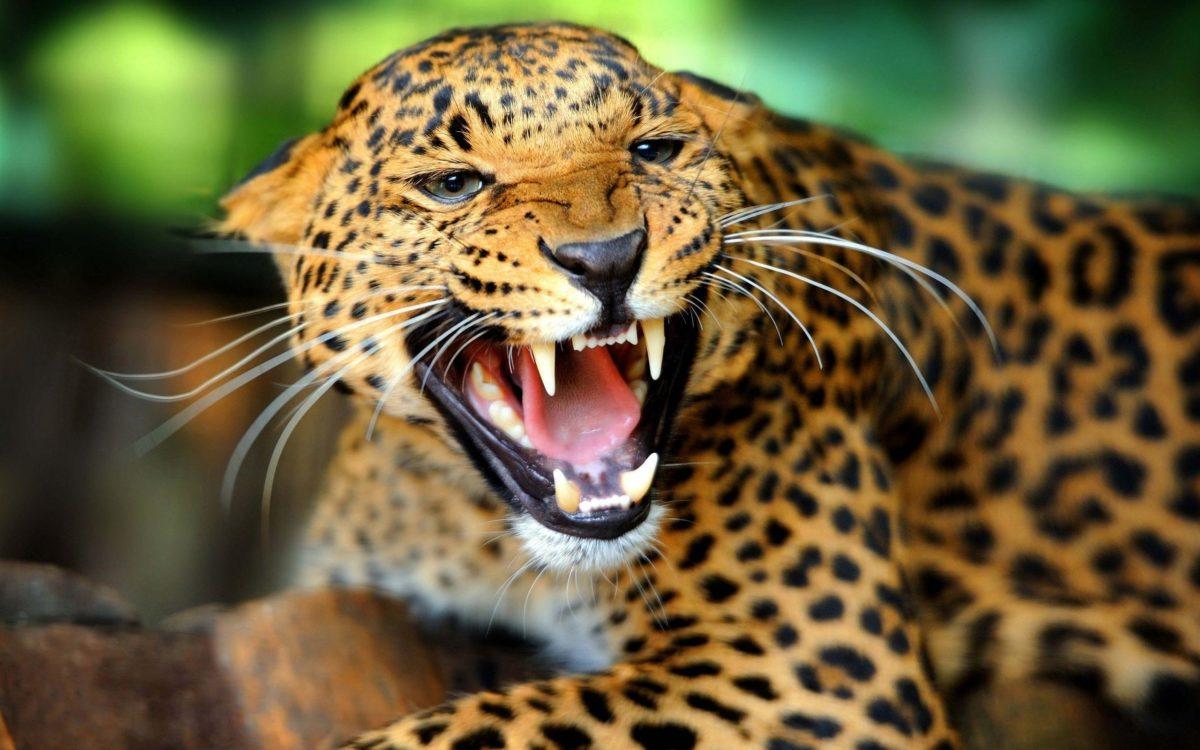 HD Jaguar Wallpapers and Photos | HD Animals Wallpapers